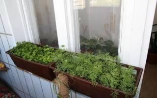 Какую зелень можно выращивать на балконе