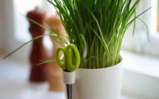 Как вырастить на балконе зелень из семян